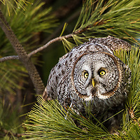 A great gray owl prepares to launch in pursuit a vole on a March evening at a pine-bordered meadow near the Clark Fork River in Western Montana's Missoula County.