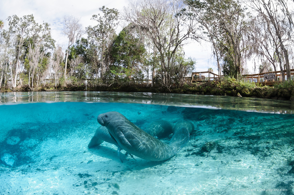 Florida manatee, Trichechus manatus latirostris, a subspecies of the West Indian manatee, endangered. Four manatees rest and warm themselves by a freshwater springhead pumping out clear blue water. A whitefin sharksucker, Echenesis neucratoides, is attached to the underside of the stretching manatee. A boardwalk or viewing platform is visible amidst the numerous trees. Horizontal orientation split image with sun rays and blue water. Three Sisters Springs, Crystal River National Wildlife Refuge, Kings Bay, Crystal River, Citrus County, Florida USA.
