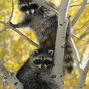 Raccoon (Procyon lotor) pair in an Aspen tree in the Rocky Mountains of Montana. Captive Animal