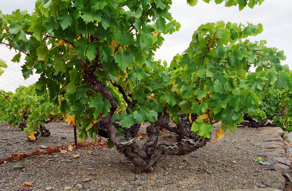 A very old vine trained in Gobelet (goblet) style in a vineyard in Collioure, Languedoc-Roussillon, France
