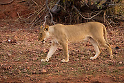 Lioness, Panthera leo, prowling. Photographed at Lake Kariba National Park, Zimbabwe