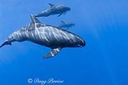 pygmy killer whales, Feresa attenuata, South Kona, Hawaii ( the Big Island ), United States ( Central Pacific Ocean )