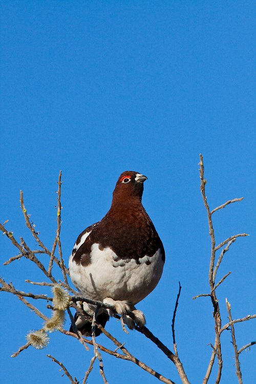 Male Ptarmigan in transition from winter to summer colors, front view, sitting in Pussy Willow Bush