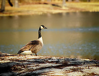 Canada goose photographed on 1/18/2010 next to a pond in Southern Alabama. I couldn't have asked for better natural lighting!