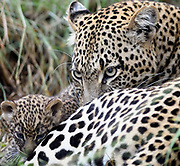 A female leopard (Panthera pardus) with her very young cub, its eyes still blue,  outside their  den. Serengeti National Park, Tanzania.