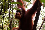 A young male Sumatran Orangutan (Pongo abelii) in the rainforest of Gunung Leuser National Park, Sumatra, Indonesia