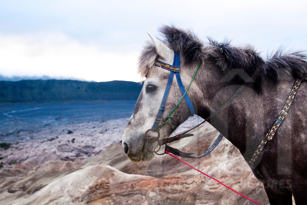 A donkey by the crater of Mount Bromo, East Java, Indonesia, Southeast Asia
