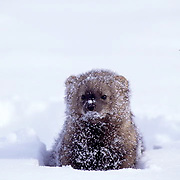 Fisher, (Martes pennanti) Montana. Popping head out from under snow. Winter. Captive Animal.