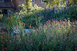 General view of salvias in Robin Middleton's garden