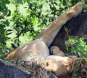 A female lion (Panthera leo) relaxes in a shady but uncomfortable looking spot. Serengeti National Park, Tanzania.