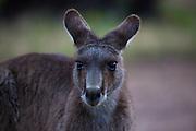 Portrait of an Eastern Grey Kangaroo, at Tom Groggins, Mount Kosciuszko National Park