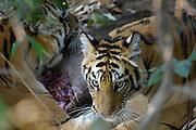 Bandhavgarh - Friday, Dec 22 2006: Bengal tiger (Panthera tigris tigris) in Bandhavgarh National Park. (Photo by Peter Horrell / http://www.peterhorrell.com)