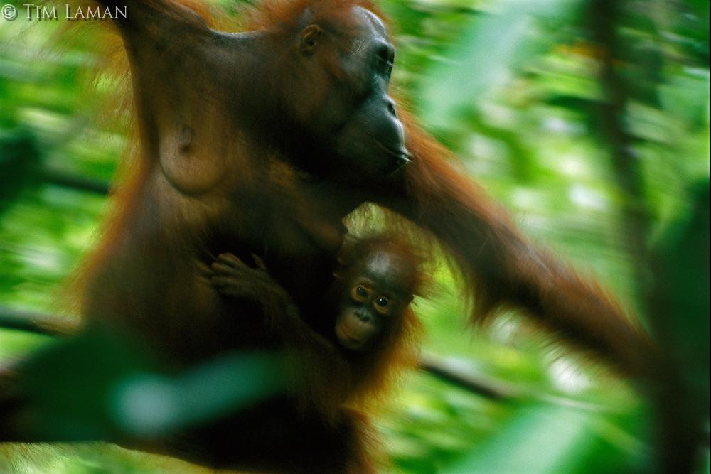 A female Bornean Orangutan (Pongo pygmaeus) named Beth moves through the forest carrying her juvenile.  Gunung Palung N.P., Borneo, Indonesia