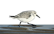 Sanderling Calidris alba L 20cm. Small, robust wader. Seen in flocks running at speed along edges of breaking waves on sandy beaches. Has white wingbar and black legs and bill. Sexes are similar. Adult in winter has grey upperparts and white underparts. In summer (sometimes seen in late spring or early autumn) plumage is flushed with red on head and neck and has dark-centred feathers on back; underparts are white. Juvenile is similar to winter adult but many back feathers have dark centres. Voice Utters a sharp plit call. Status Locally common non-breeding visitor, mainly to sandy beaches; occasional on shingle or mudflats.