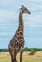 Giraffe at a watering hole drinking water, Nxai Pan National Park, Botswana.