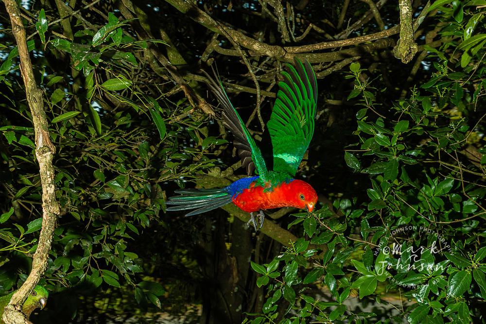 Australian King Parrot (Alisterus scapularis), Green Mountains, Lamington National Park, Gold Coast Hinterland, Queensland, Australia