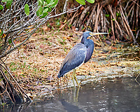 Tricolored Heron. Black Point Wildlife Drive, Merritt Island National Wildlife Refuge. Image taken with a Nikon Df camera and 300 mm f/4 lens (ISO 3600, 300 mm, f/4, 1/1250 sec).