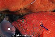 tomato grouper, Cephalopholis sonnerati, being cleaned by shrimp, Urocaridella antonbruunii, & wrasse, Labroides dimidiatus; moray waits its turn, Bali, Indonesia