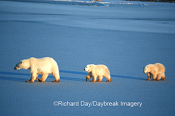 01874-01205 Polar Bears (Ursus maritimus) female with 2 cubs walking on frozen pond  Churchill  MB