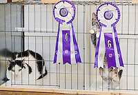 Cat Show at the Laconia VFW.  Karen Bobotas for the Laconia Daily Sun