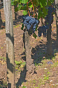 A Cabernet Franc bunch of grapes on a vine in the vineyard at Chateau Cheval Blanc, Saint Emilion, Bordeaux