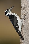 Hairy Woodpecker - Picoides villosus - male