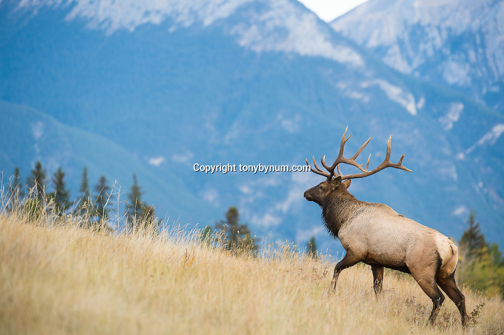bull elk walking up hill with mountain background