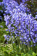 Spring Bluebell flowers (Hyacinthoides non-scripta)