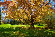 Amur maple in autumn colors at the PFRA station (Prairie Farm Rehabilitation Administration)<br /> Indian Head<br /> Saskatchewan<br /> Canada