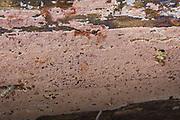 Polypore Junghuhnia collabens on fallen spruce, near Vildoga, Gauja National Park (Gaujas Nacionālais parks), Latvia Ⓒ Davis Ulands | davisulands.com