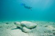 turtle researcher Hannah Seward and Australian flatback sea turtle, Natator depressus, endemic to Australia and southern New Guinea, Australia, MR 423