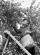 9969-4486. Billy Parsons picking Delicious Apples in the Orchard of C. King Benton, Hood River, Oregon, Hood River, October 3 1939