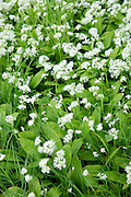 Wild Garlic - Ramsons, Buckrams or Wood Garlic, Allium ursinum - in pungent bloom as Spring turns to Summer, Somerset, UK