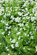 Wild Garlic - Ramsons, Buckrams or Wood Garlic, Allium ursinum - in pungent bloom as Spring turns to Summer, Somerset, UK