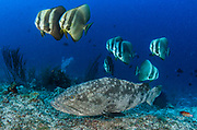 Grouper (Epinephelus sp.)<br /> Raja Ampat<br /> West Papua<br /> Indonesia