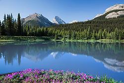 Wildflowers in the Sprey River valley in Kananaskis Country, Alberta, Canada.