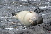 Hawaiian monk seal, Neomonachus schauinslandi, formerly Neomonachus schauinslandi ( CriticallyEndangered, endemic species ), 5 month old male, sleeping in tide pool on shoreline of Kealakekua Bay, Kona Coast, Hawaii ( the Big Island )