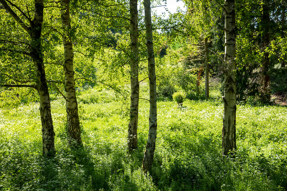 Sunlight through a copse of Silver Birch trees, Betula pendula, and cow parsley at Swinbrook in The Cotswolds in Oxfordshire, UK