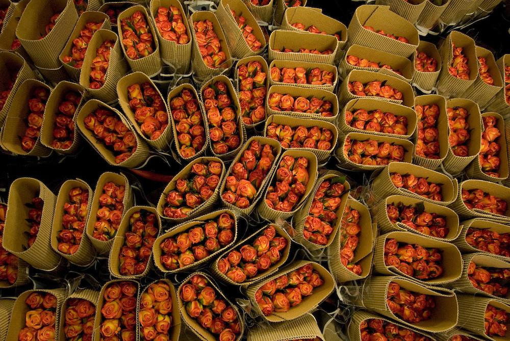 AQ Roses est une entreprise hollandaise dirigée par la famille Ammerlaan. Ils se sont installés en Éthiopie en 2006 pour concurrencer le manque de terres disponibles et le coût d'une telle entreprise aux Pays Bas. Ils louent 38 hectares à Gerrit Barnhoorn, lui même propriétaire de 400 hectares en bordure du Lac Ziway. AQ Roses produit près de 100 millions de fleurs par an, en majorité des roses. Leurs principaux clients sont la Hollande, l'Allemagne et la Scandinavie. Ils pompent directement dans le Lac Ziway pour tous leurs besoins en eau. Éthiopie août 2011.