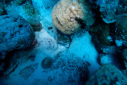 A holothurian (sea cucumber) on the sandy bottom at Cod Hole on Mermaid Reef at the Rowley Shoals.