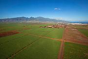 Sugar Cane Field, Maui, Hawaii