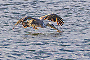 A brown pelican (Pelecanus occidentalis) in nonbreeding plumage hunts by diving head-first into the water of the Pacific Ocean in Olympic National Park near La Push, Washington. Pelicans feed mainly on fish they find at or near the surface. They can dive from heights of 50 feet (15 meters) or more, filling their throat pouches once they hit the water. They then strain out the water and swallow any food that was caught.