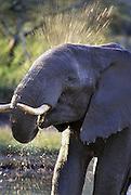 African Elephant <br /> Loxodonta africana<br /> An elephant bathing at a waterhole<br /> Ngorongoro Conservation Area, Tanzania