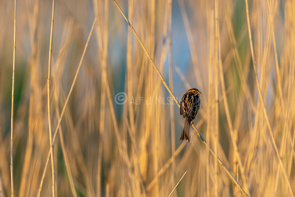 Young female common reed bunting (Emberiza schoeniclus) from Vejlerne, northern Denmark.