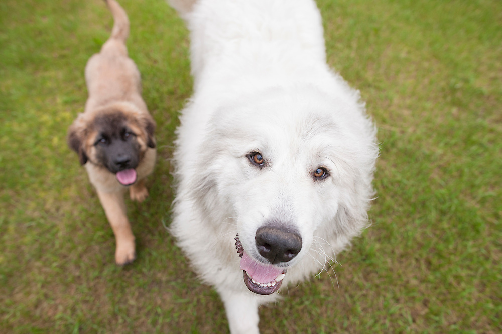 Great pyrenees walking looking up at the camera with a leonberger puppy trotting behind