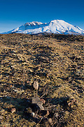 Moss begins to overtake the rocky landscape within the blast zone at Mount St. Helens National Monument, Washington. This image was captured nearly 30 years after the violent May 18, 1980 eruption. The first wildflowers began to appear in this spot about 20 years after the eruption.