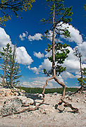 Lodgepole Pine (Pinus contorta) appears to be walking as it stuggles for survival.  Yellowstone NP, USA
