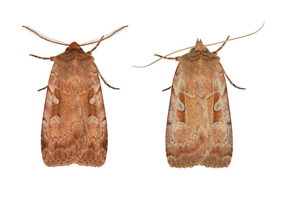 73.364 (2115)<br /> Rosy Marsh Moth - Coenophila subrosea