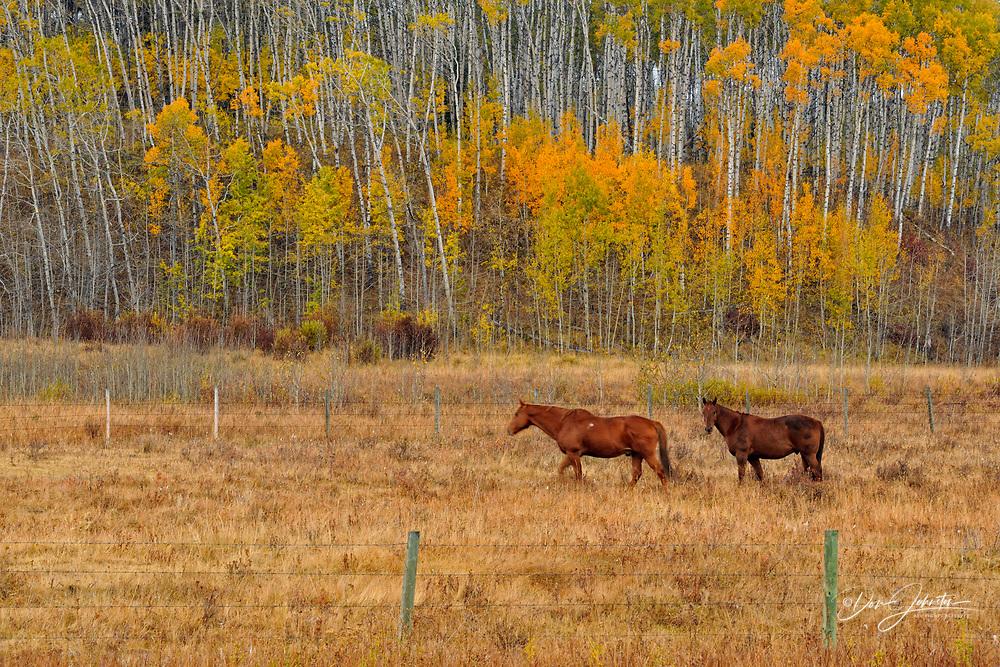 Autumn aspens with horses in a pasture, near Longview, Alberta, Canada