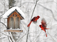 Northern Cardinals and other various birds enjoy some bird food on a snowy, spring day in Ohio.
